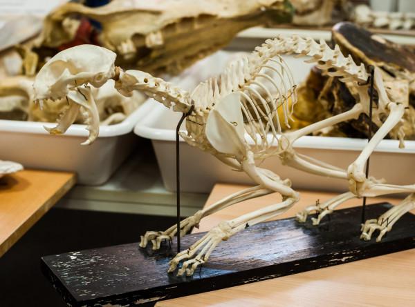 Походку первых наземных животных восстановили по плечевой кости