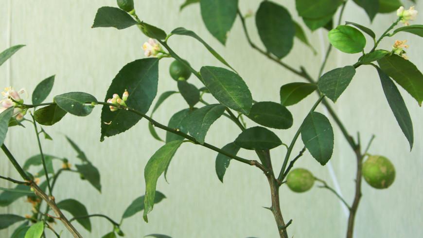 лимон, апельсин, дерево, растение, флора, лимонное дерево, апельсиновое дерево,