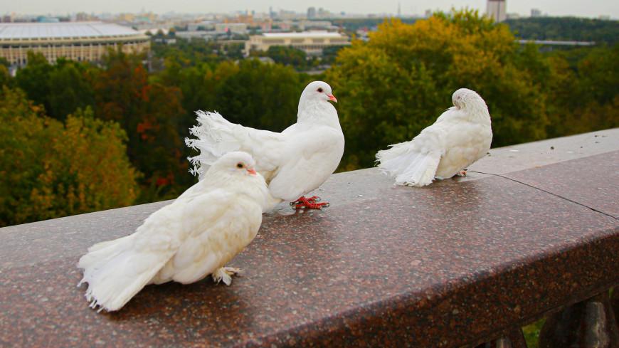 москва, город, улицы, архитектура, вид, панорама, воробьевы горы, обзор, смотровая площадка, ленинские горы, высокий правый берег в излучине Москвы-реки, семь холмов москвы, голубь, голуби, белый голубь, птица, городская птица,