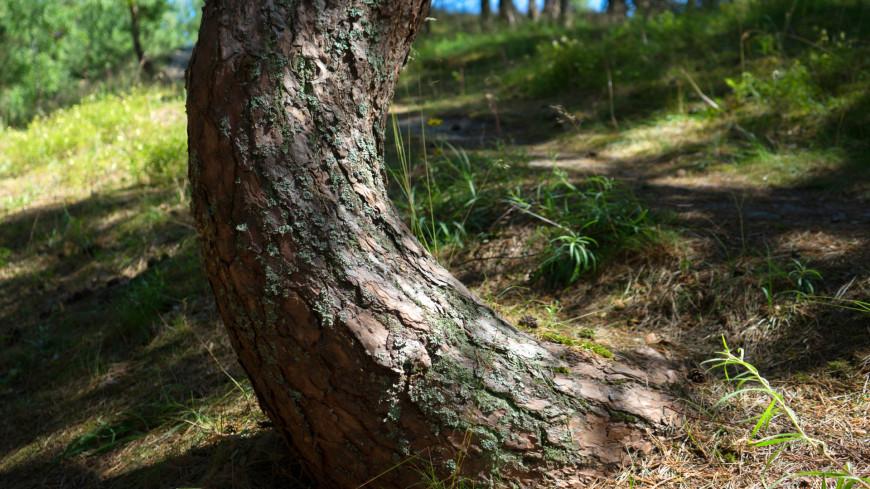 Одно из старейших британских деревьев сменило пол
