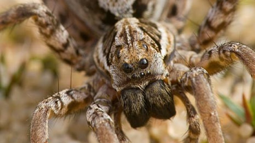 На британском полигоне заметили «вымерших» пауков-волков