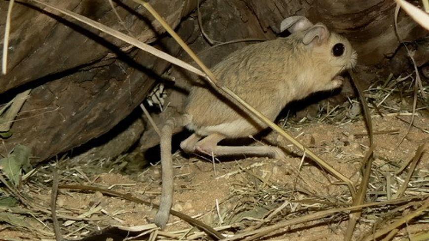 Заснувших тушканчиков в Московском зоопарке поместили в холодильники
