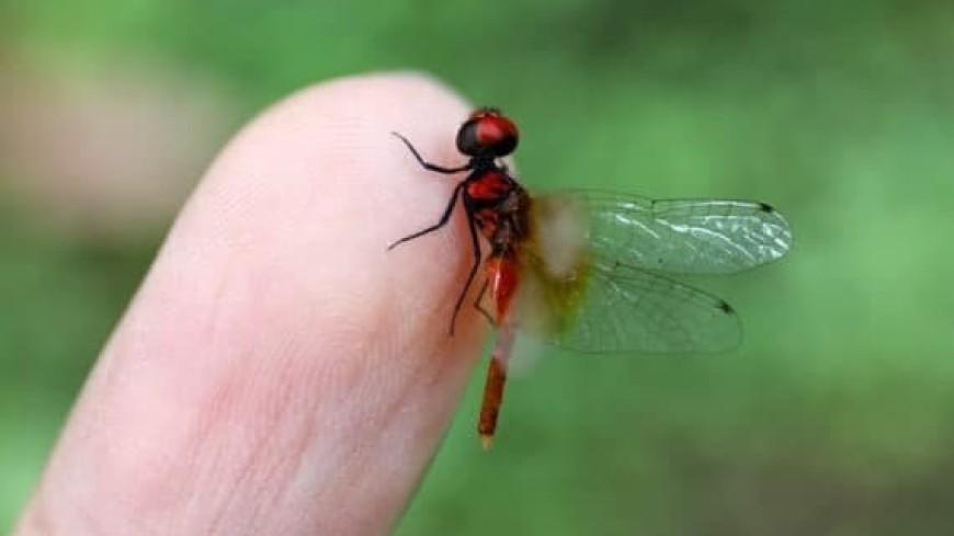 Самую маленькую в мире стрекозу обнаружили на юго-западе Китая