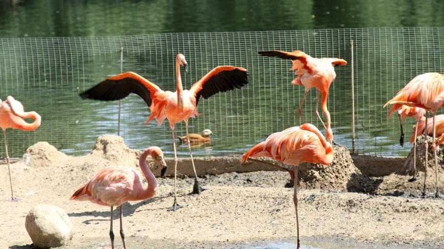Фламинго, птица, фламинго