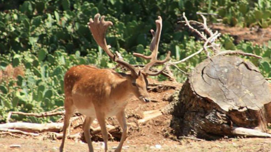 """Фото: Мария Чегляева, """"«МИР 24»"""":http://mir24.tv/, олень в лесу, олень, олени"""