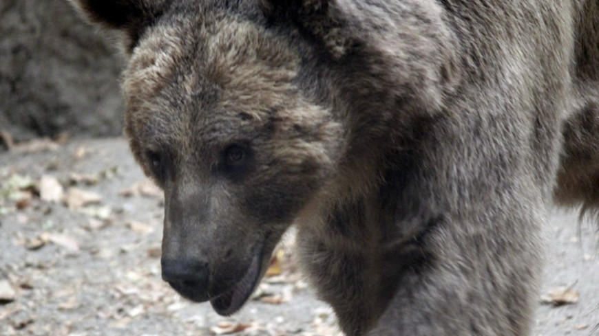 Медведица с медвежонком забрались на атомную подлодку на Камчатке