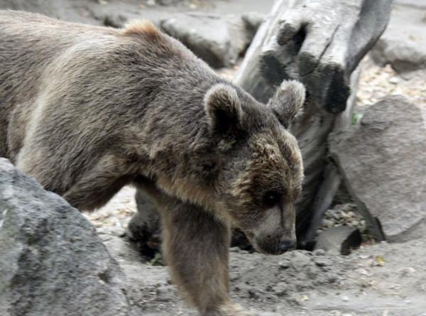 Голодный медведь три раза за сутки атаковал людей в Японии