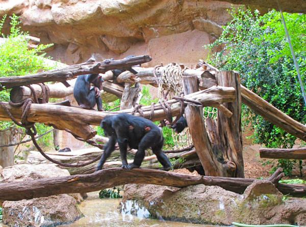 У шимпанзе нашли сходство с пожилыми людьми