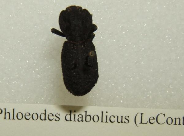 Американские ученые раскрыли тайну «дьявольского» жука