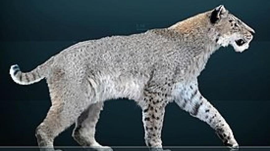 Вымершим саблезубым кошкам провели анализ ДНК