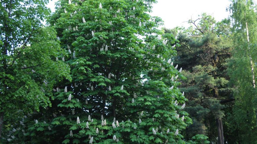 """Фото: Сергей Минеев, """"«Мир 24»"""":http://mir24.tv/, парк, конский каштан, деревья"""