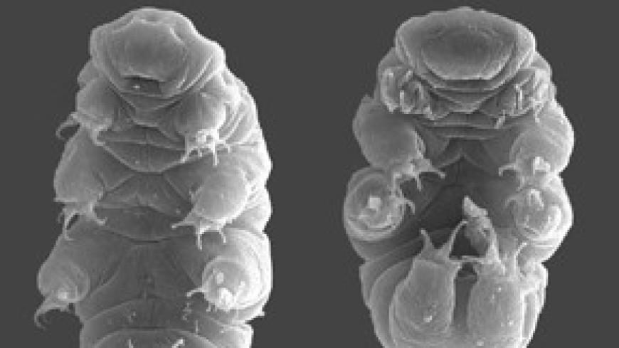 Ученые выяснили, что защищает тихоходок от смертельного ультрафиолетового излучения
