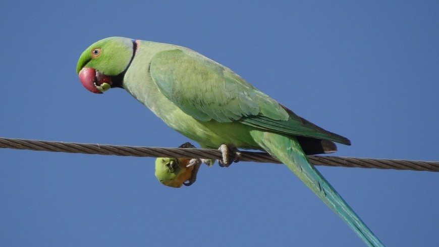 Кольчатые попугаи терроризируют ворон и белок в Стамбуле