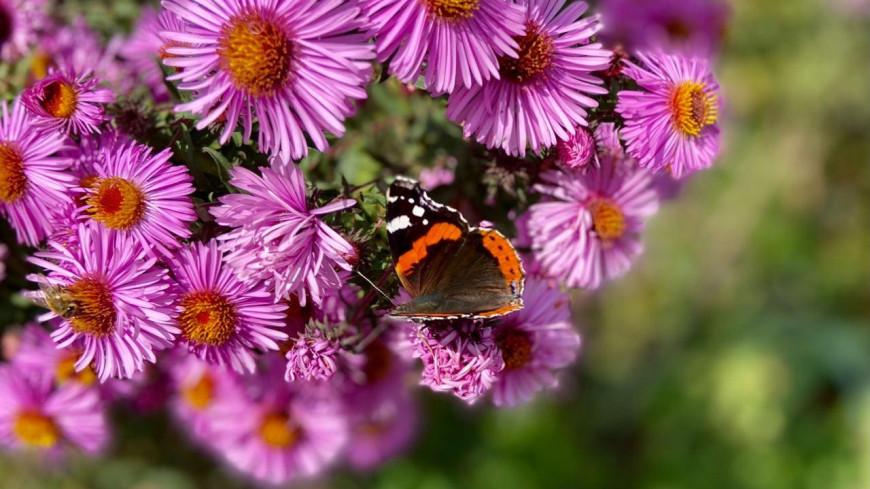 лето, природа, флора, насекомые, цветы, стебель, цветок, лепесток, биология, ботаника, солнце, тепло, деревня, дача, пыльца, нектар, бабочка, крылья, бабочка адмирал,