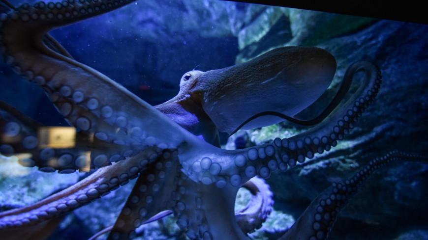 Осьминоги оказались способны распознавать вкус щупальцами