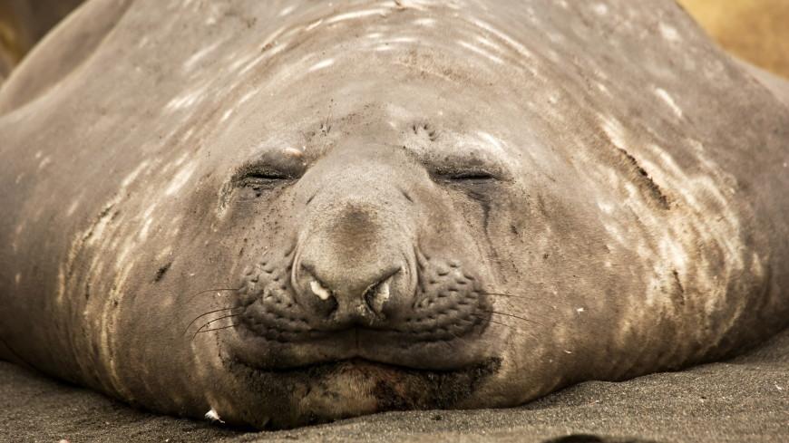 На улицы чилийского города вышел морской слон