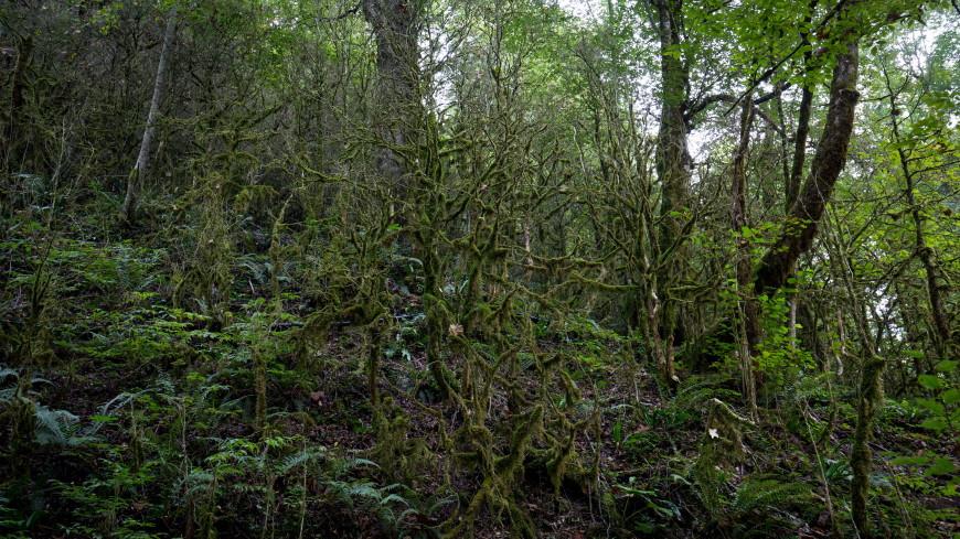 В национальном парке Сочи высадят около 100 тыс. саженцев самшита