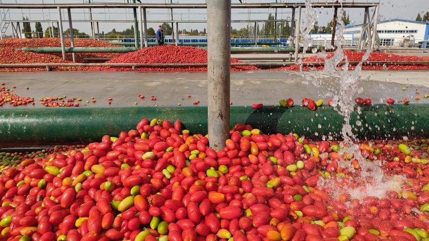 Реки «красного золота»: как Кыргызстан учится перерабатывать «застрявшие» в стране помидоры