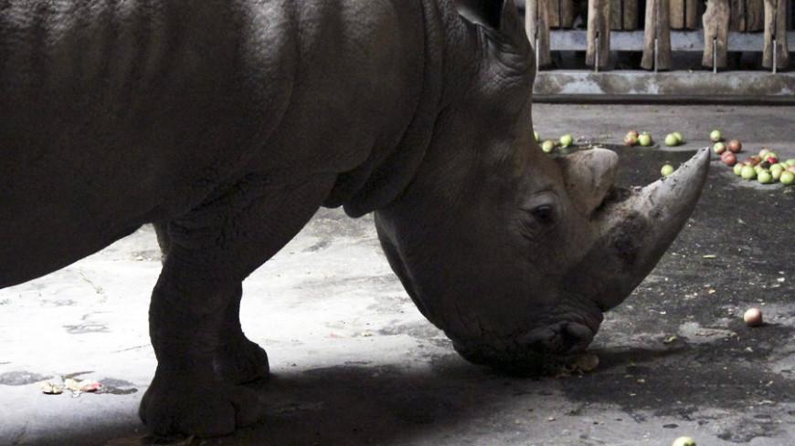 """""""© Фото: Александр Попов, «МИР 24»"""":http://mir24.tv/, домашние животные, зоопарк, носорог, животные"""