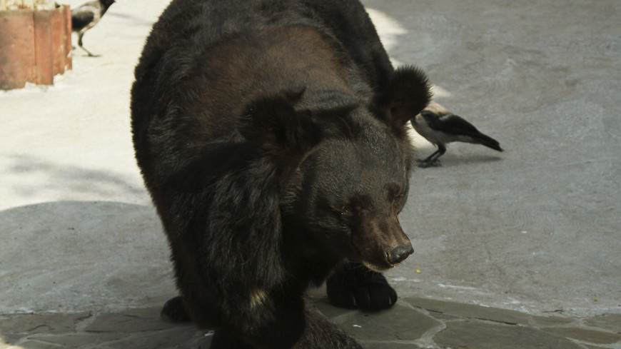 В Москве погиб смотритель цирка, на которого напал медведь