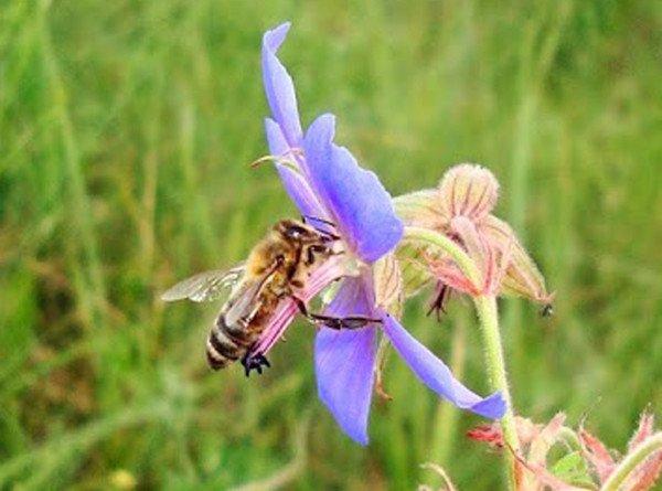 В яде медоносных пчел обнаружили средство от рака груди