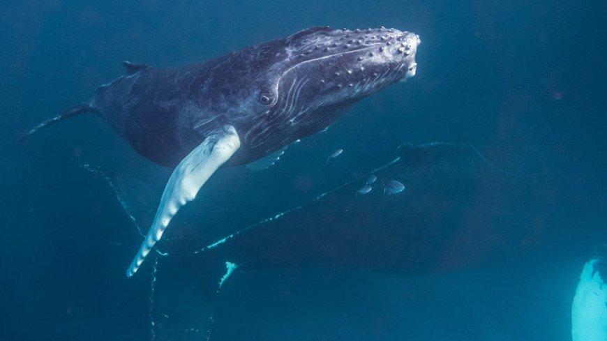 В Австралии горбатый кит более двух недель провел в реке с крокодилами