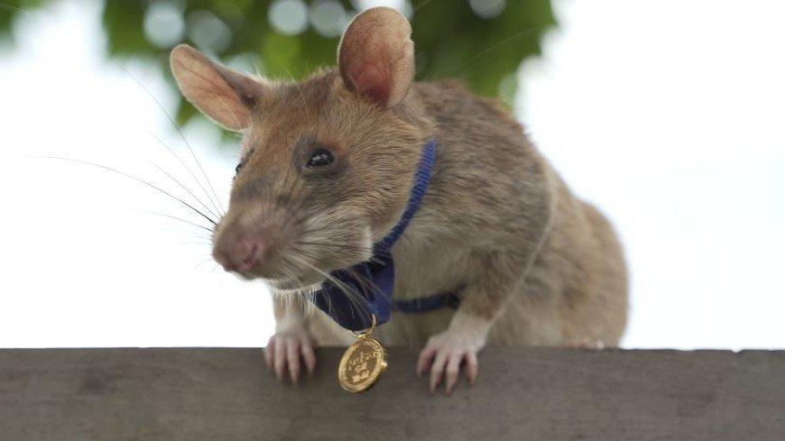 Крысу из Камбоджи наградили медалью за храбрость при поиске мин