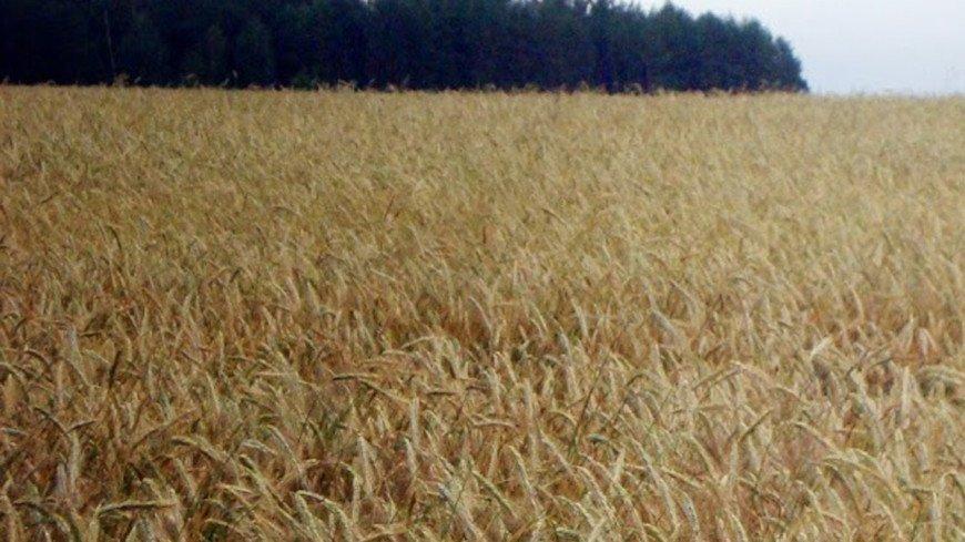 В Иркутской области собрали уже 275 тыс. тонн зерна и зернобобовых культур