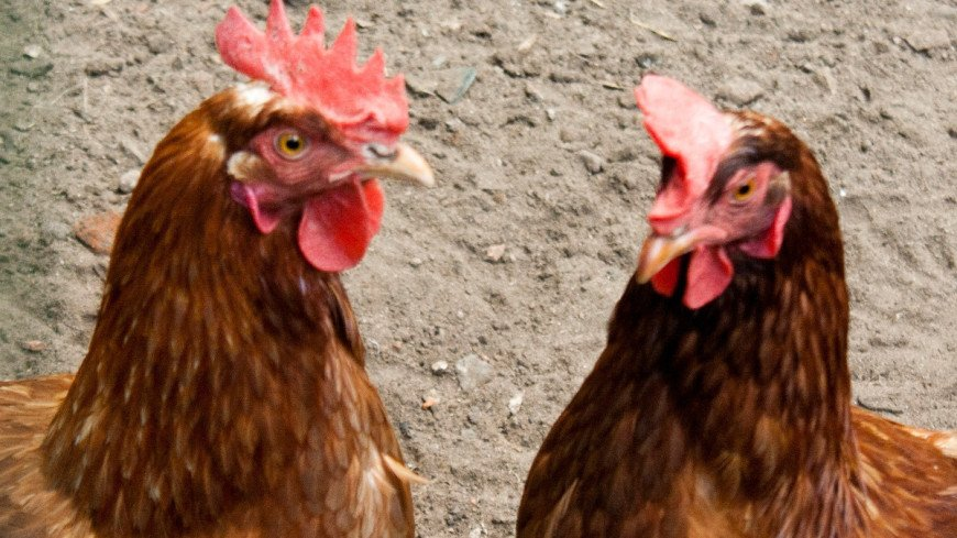 "Фото: Елена Андреева, ""«Мир24»"":http://mir24.tv/, курица"