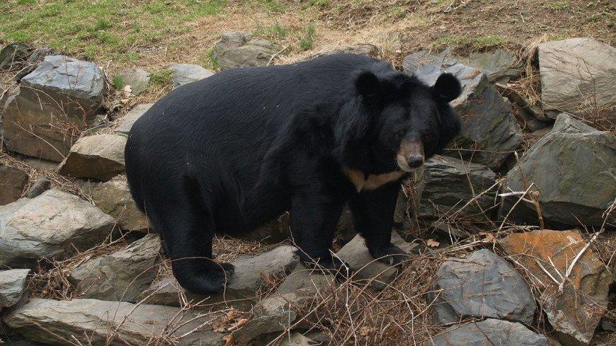 Гималайский медведь покусал двух грибников в Хабаровском крае