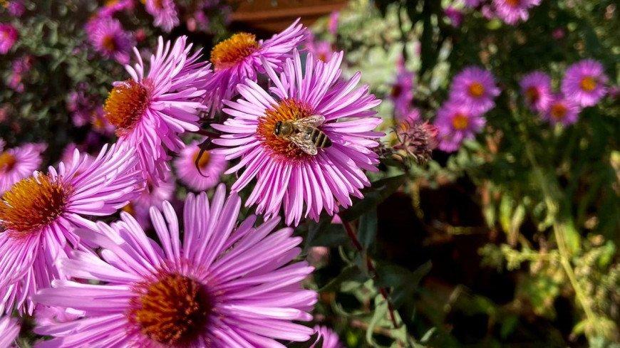 лето, природа, флора, насекомые, цветы, стебель, цветок, лепесток, биология, ботаника, солнце, тепло, деревня, дача, пыльца, нектар, пчела, пчелы, мед, пасека, улей, пчеловод, пчеловодство, соты, рой,