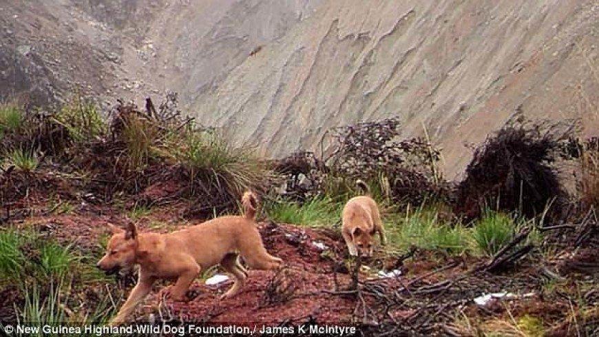 В Индонезии заметили певчих собак, которые полвека считались вымершими