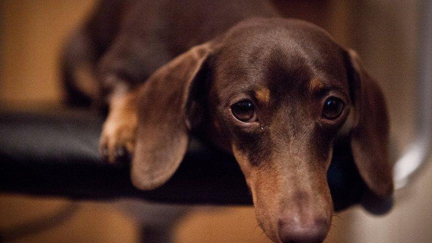 Кинолог посоветовал горожанам заводить собак некрупных пород