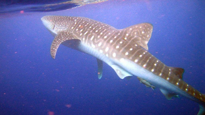 Самок китовых акул признали самыми крупными рыбами на планете