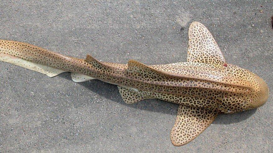 В России впервые получили потомство акулы-зебры в неволе