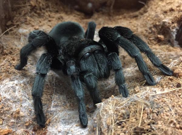 Ученые из Петербурга научились делать бинты из паутины птицееда
