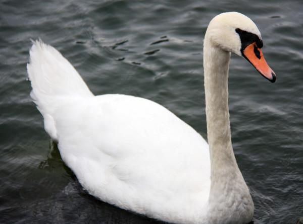 На Сахалин прилетели белые лебеди