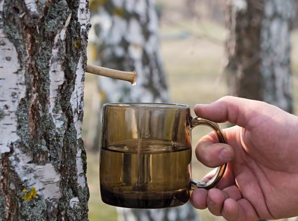 Весенний напиток: сезон березового сока наступил в Беларуси