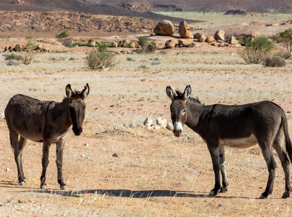Колодцы в пустыне: как ослы помогают животным во время засухи