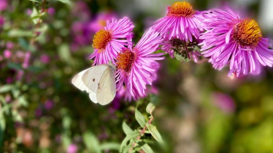 лето, природа, флора, насекомые, цветы, стебель, цветок, лепесток, биология, ботаника, солнце, тепло, деревня, дача, пыльца, нектар, бабочка, крылья, капустница,