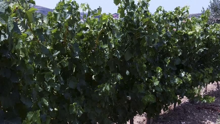"""Фото: Мария Чегляева, """"«МИР 24»"""":http://mir24.tv/, виноградник, вино, виноделие, виноградники, виноград"""