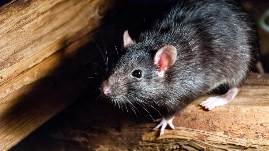 Роспотребнадзор напомнил о необходимости борьбы с крысами