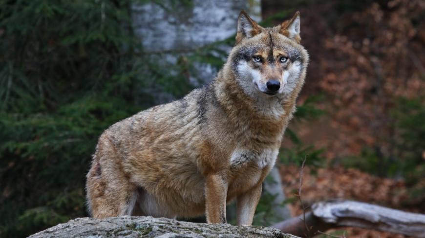 Серые волки пережили ледниковый период благодаря смене рациона