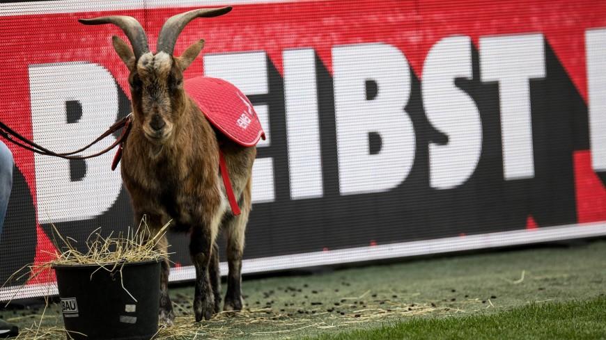 «Кельн» в трауре: умер бывший талисман команды козел Хеннес VIII