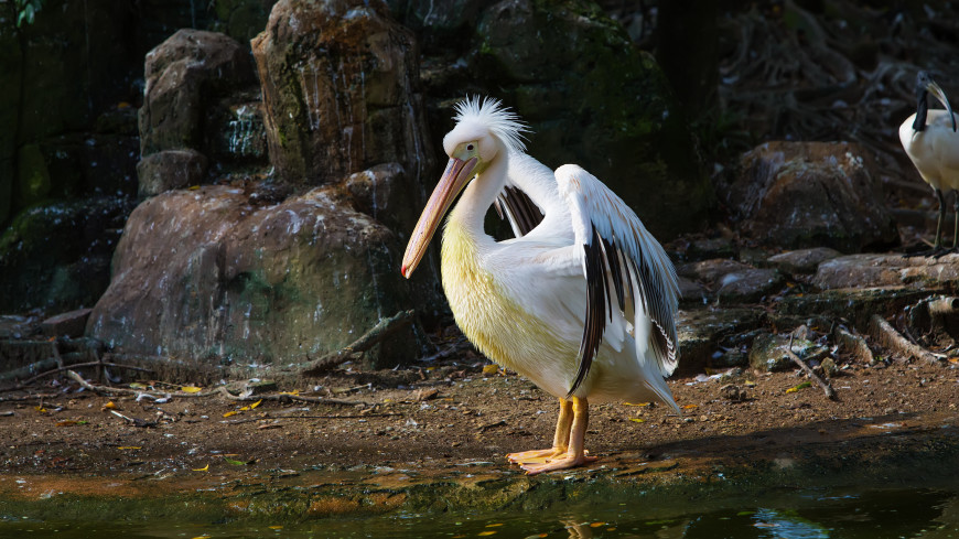 Пернатое пополнение: в Московском зоопарке показали птенцов кудрявого пеликана