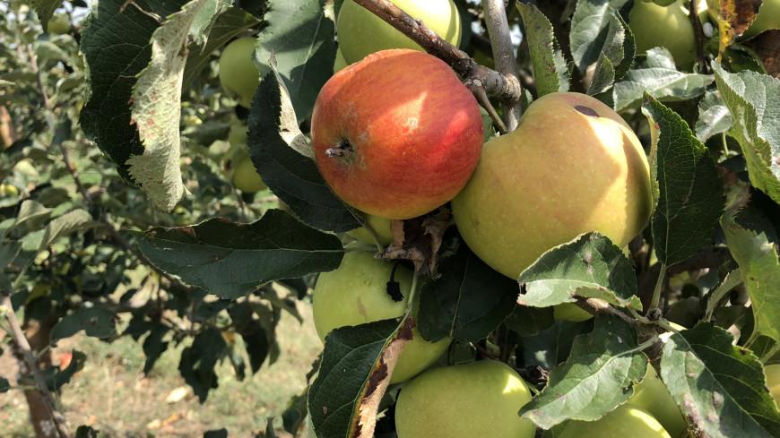 Яблоневый сад в Грузии