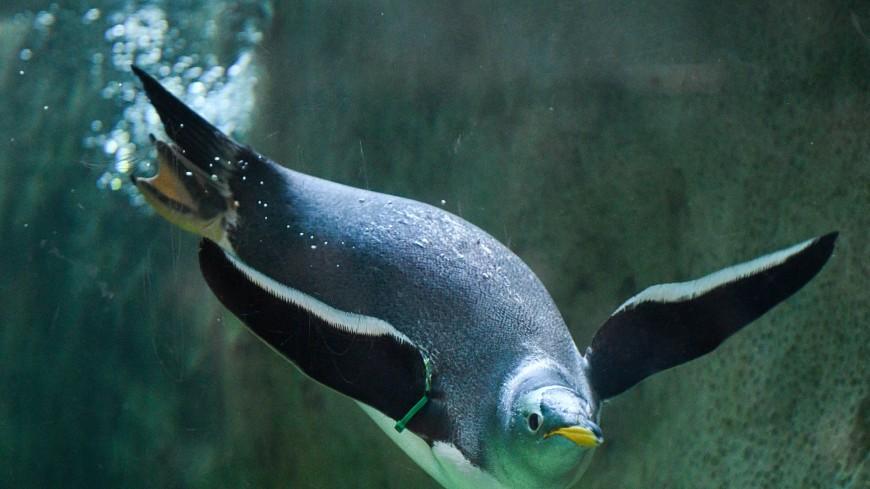 Брачный сезон: папуанские пингвины строят гнезда в Московском зоопарке