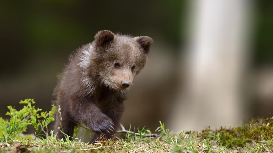 Оставшийся без матери медвежонок пришел за помощью к людям