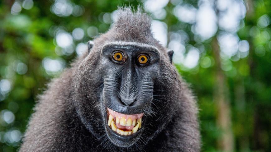 Индийские обезьяны-карманницы ограбили адвоката