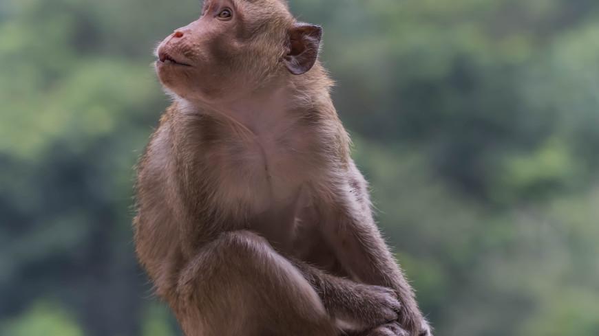 Чипированная обезьяна научилась играть в видеоигры силой мысли (ВИДЕО)